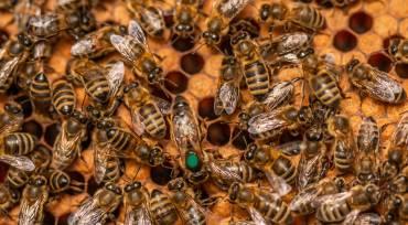 TYPES OF QUEEN BEES